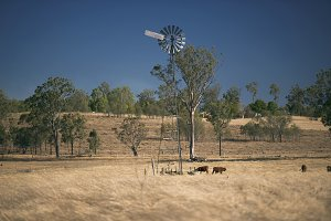 Cows and a windmill in the country