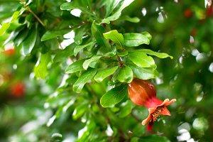 Branch of pomegranate tree