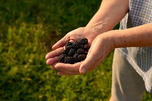 hands hold the berry, blackberry