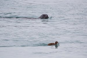 Seal and duck in Jokulsarlon glacier lagoon on the south coast of Iceland