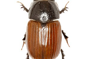 Dung Beetle Aphodius