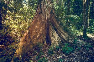 Big tree in jungle rainforest. Nature background
