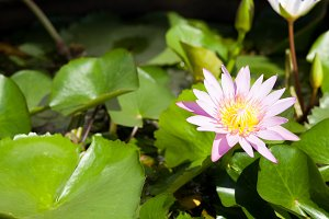 Lotus in the pond. Decorate the gard