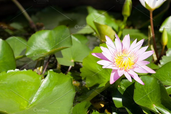 Lotus in the pond. Decorate the gard - Nature
