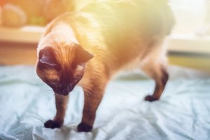A beautiful Siamese cat looks down. A cat is disabled - a missing leg, three paws.