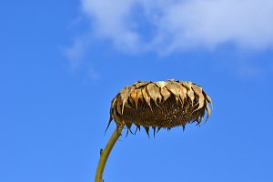 desolate dry sunflower