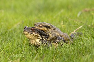 Couple of toads