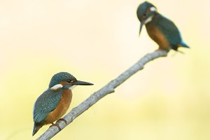 Couple of kingfishers