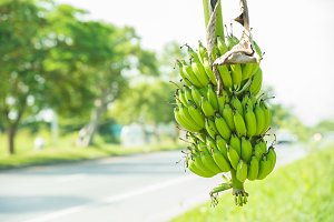 green banana bunch beside the road