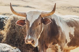 African Nguni Bull Portrait