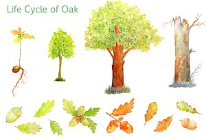 Watercolor Oak Tree Life Cycle