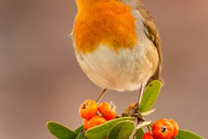 Beautiful red bit bird