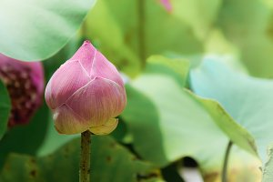Lotus flower nature on holy day