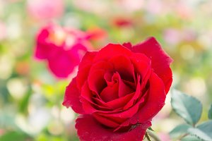 red rose on nature background