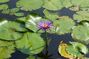 Lotus and lotus ponds.