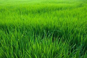 Seedlings of rice.