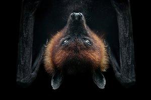 Flying fox on black