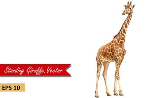 Giraffe Standing, Adult. Vector