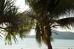 Coconut palms and the sea.