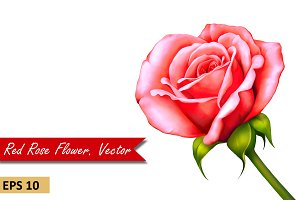 Pink Red Rose Flower. Vector