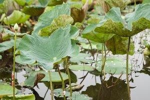 Lotus leaf.