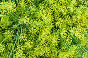 Dill weed flowers