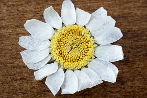 Daisy Flower on a wooden surface