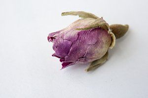Dried single rose on white