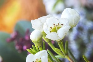 White Waxflower Chamelaucium