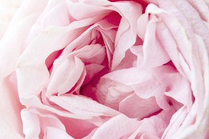 Close up Pink Carnation