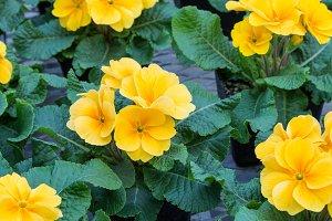 Yellow primrose flowers