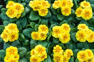 Tray of yellow primroses