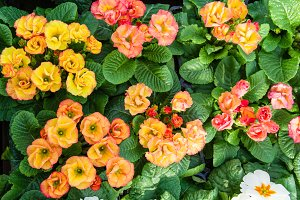 Tray of peach blooming primroses