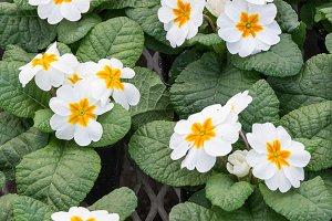 White primrose flowers