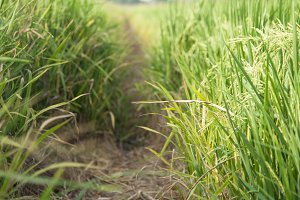 In the rice fields.