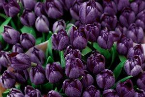 Dark Violet Tulips Background
