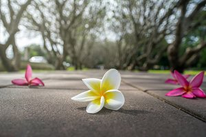 Plumeria flower on the road