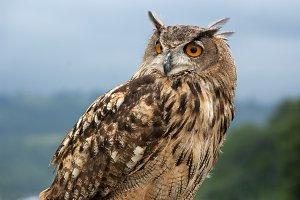 eurasian eagle owl.(Bubo bubo)