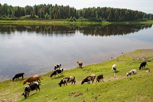 A herd of cows grazes on the bank of the Siberian river
