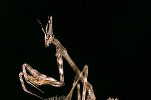 Insect predator.Empusa pennata