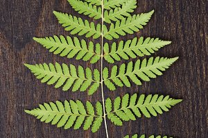 Fern leaf on dark oak
