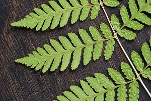Fern leaf on dark wooden surface