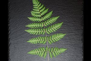 Fern leaf on square slate plate