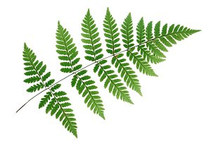 Transucent fern leaf, isolated