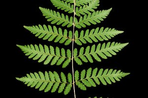 Green fern leaf isolated on black