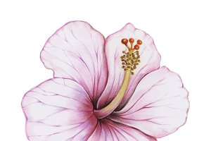 Illustration of hibiscus flower