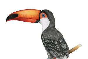 Illustration of hornbills bird