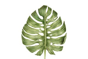 Illustration of green leaf