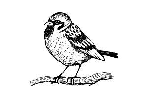Sparrow bird engraving vector illustration