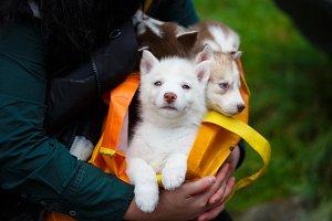 Puppies in a handbag